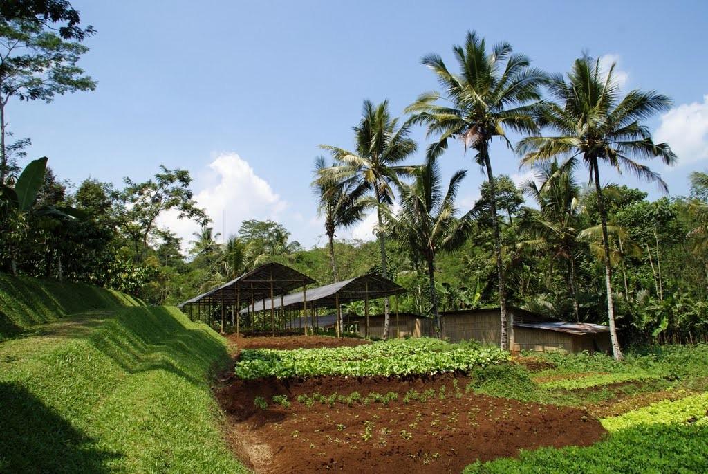 MesaStila coffee plantation, Java Indonesia (Photo by: Hommeles)