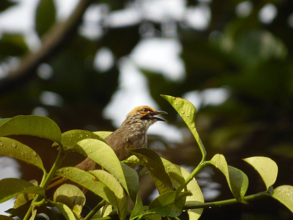 Straw-headed Bulbul   Photo credits: Love Our Macritchie Forest