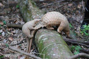 Critically endangered Pangolin | Photo credits: Straits Times