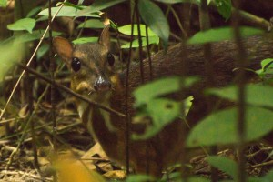 Lesser Mousedeer   Photo credits: Love Our Macritchie Forest