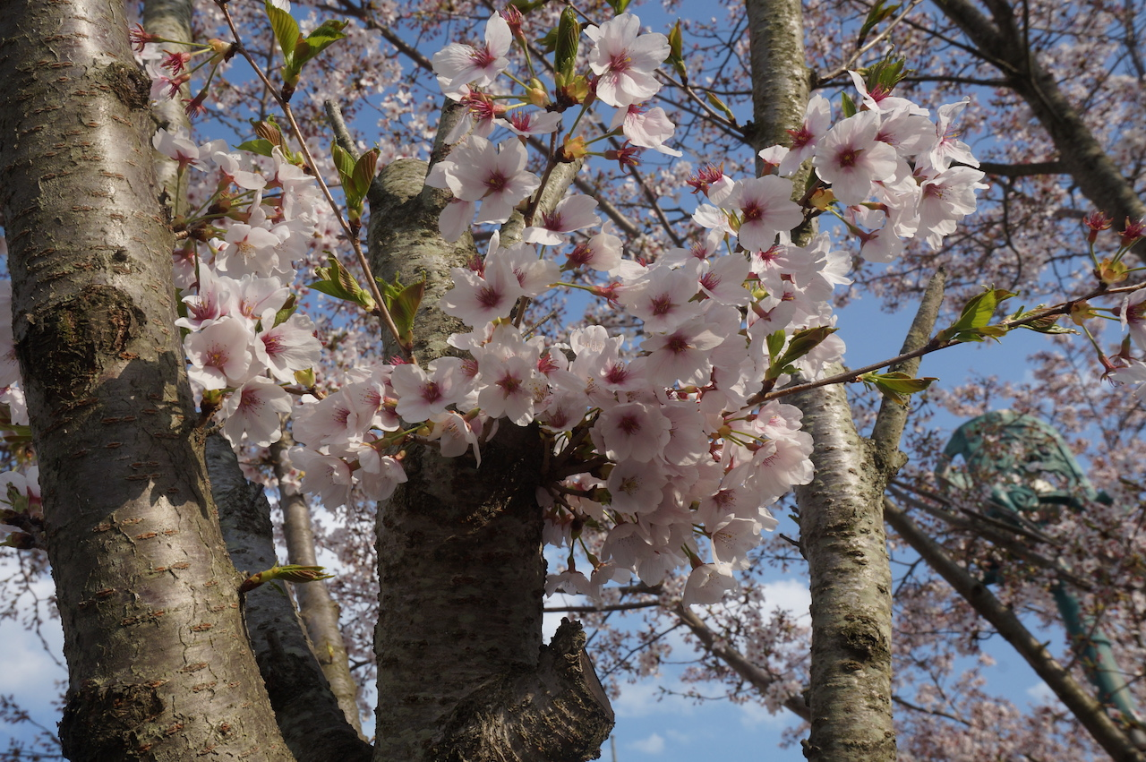 gyeongju shilla park cherry blossoms