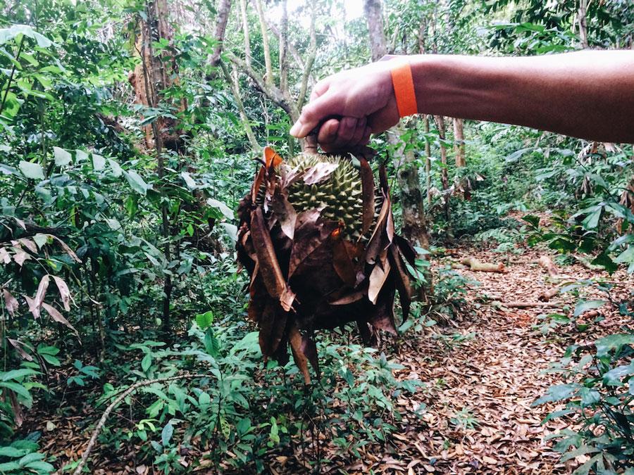durian-pulau-ubin